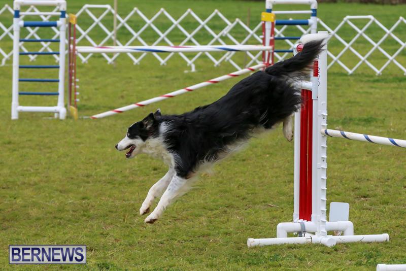Dog-Agility-Trials-Bermuda-March-28-2015-26