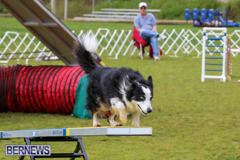 Dog-Agility-Trials-Bermuda-March-28-2015-29
