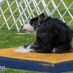 Dog Agility Trials Bermuda, March 28 2015-33
