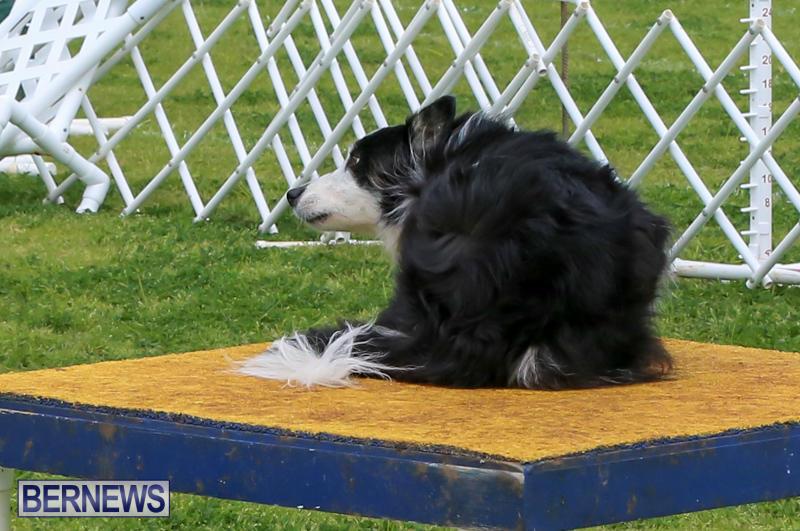 Dog-Agility-Trials-Bermuda-March-28-2015-33