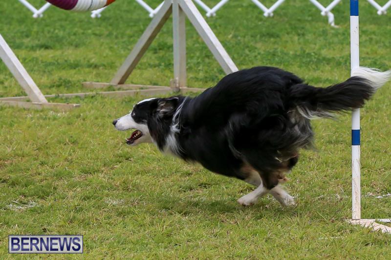Dog-Agility-Trials-Bermuda-March-28-2015-35