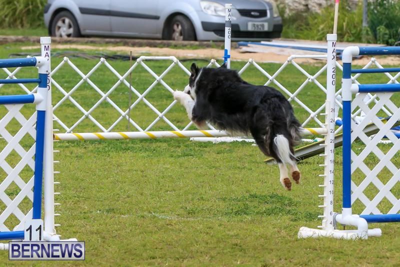 Dog-Agility-Trials-Bermuda-March-28-2015-38
