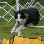 Dog Agility Trials Bermuda, March 28 2015-43