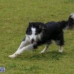 Dog Agility Trials Bermuda, March 28 2015-45