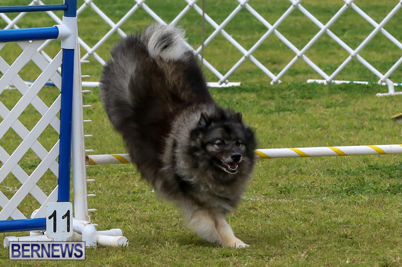 Dog-Agility-Trials-Bermuda-March-28-2015-49