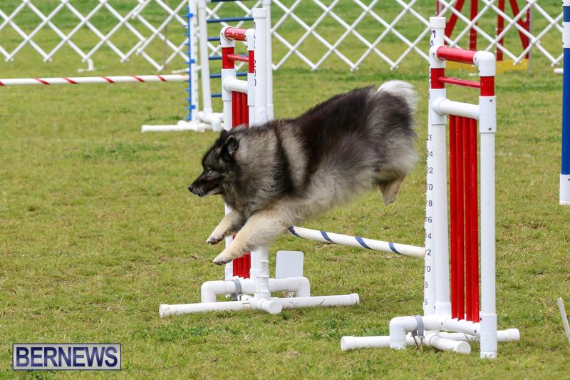 Dog-Agility-Trials-Bermuda-March-28-2015-51