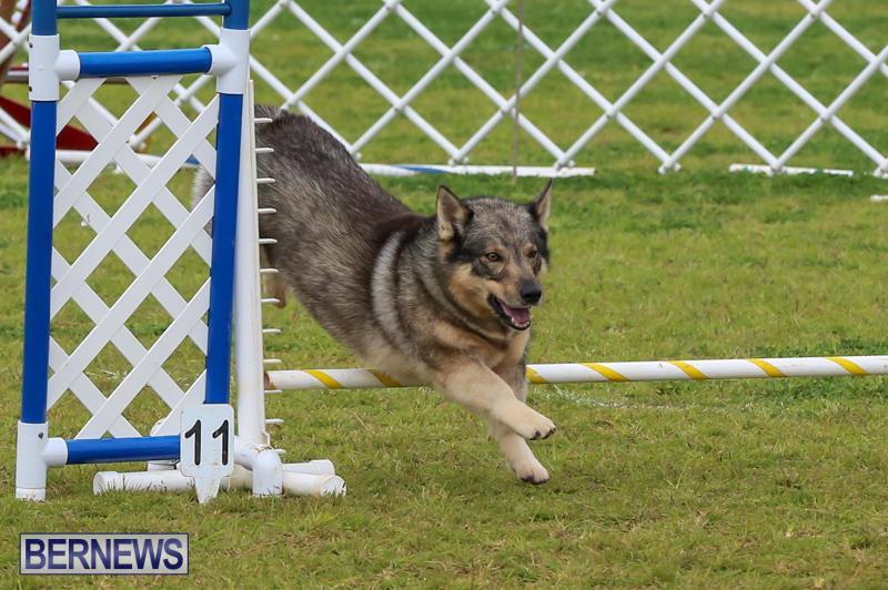 Dog-Agility-Trials-Bermuda-March-28-2015-69