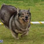 Dog Agility Trials Bermuda, March 28 2015-70