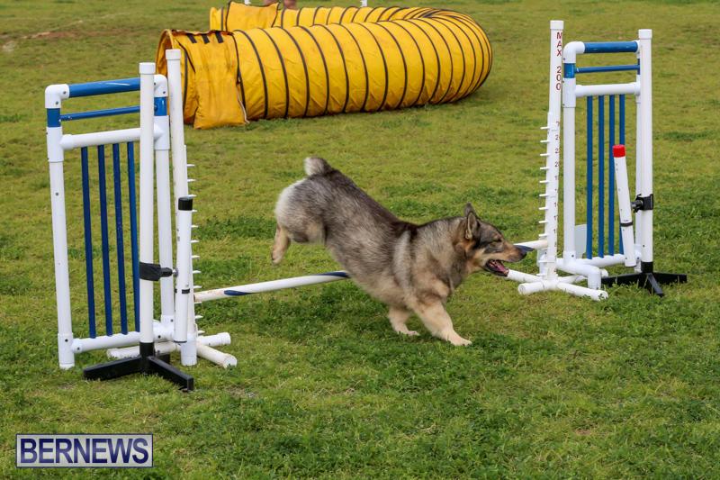 Dog-Agility-Trials-Bermuda-March-28-2015-77