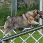 Dog Agility Trials Bermuda, March 28 2015-80