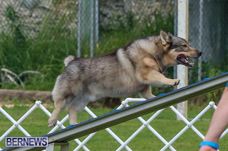 Dog-Agility-Trials-Bermuda-March-28-2015-80