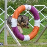 Dog Agility Trials Bermuda, March 28 2015-81