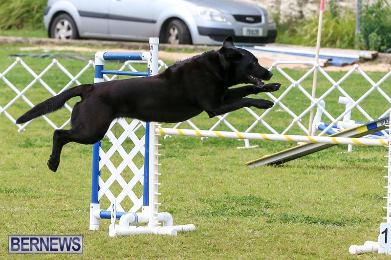 Dog-Agility-Trials-Bermuda-March-28-2015-88