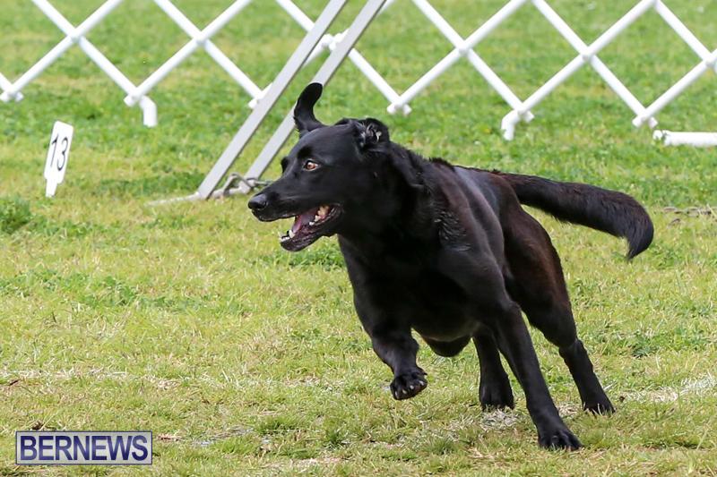 Dog-Agility-Trials-Bermuda-March-28-2015-89