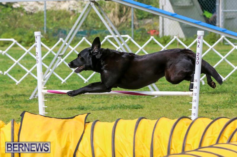 Dog-Agility-Trials-Bermuda-March-28-2015-99