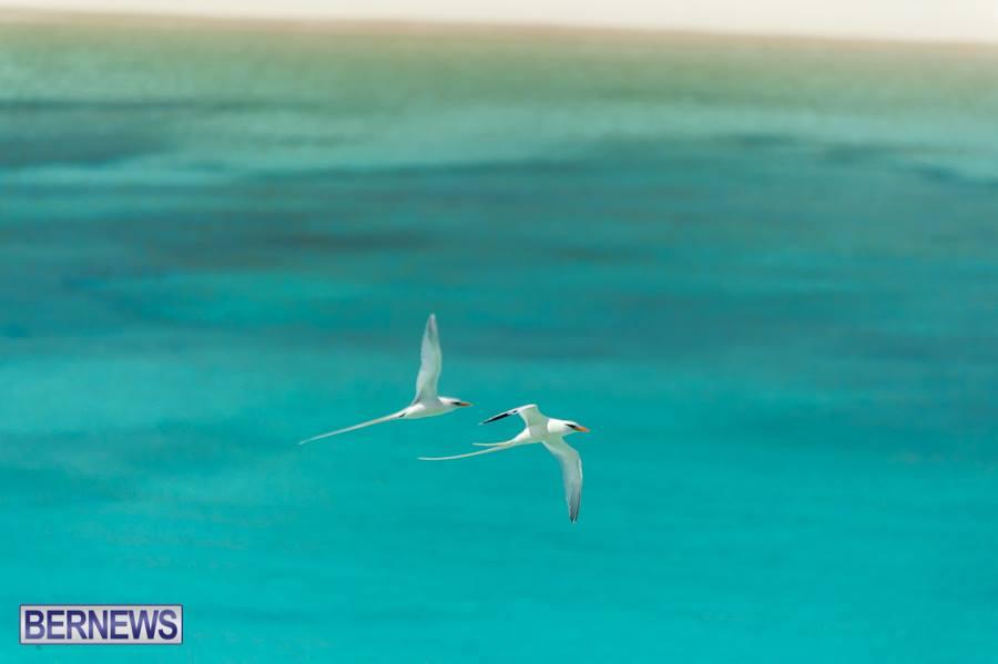 759-Twin longtails Bermuda Generic
