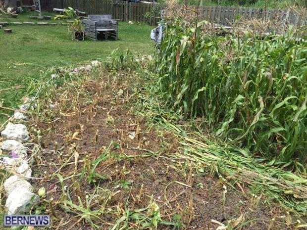 Corn Garden May 2015 Bermuda (4)