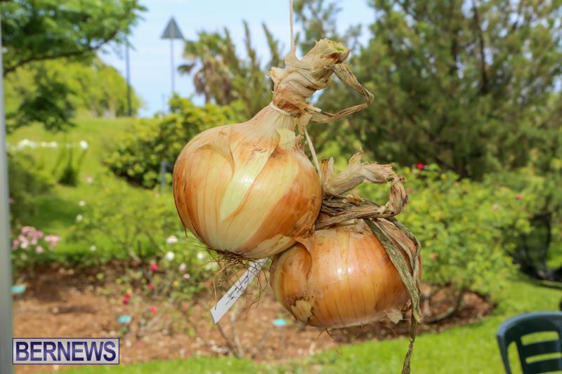 Onion-Day-St-Davids-Bermuda-May-23-2015-14