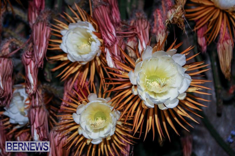 Night-Blooming-Cereus-Flowers-Bermuda-June-24-2015-16