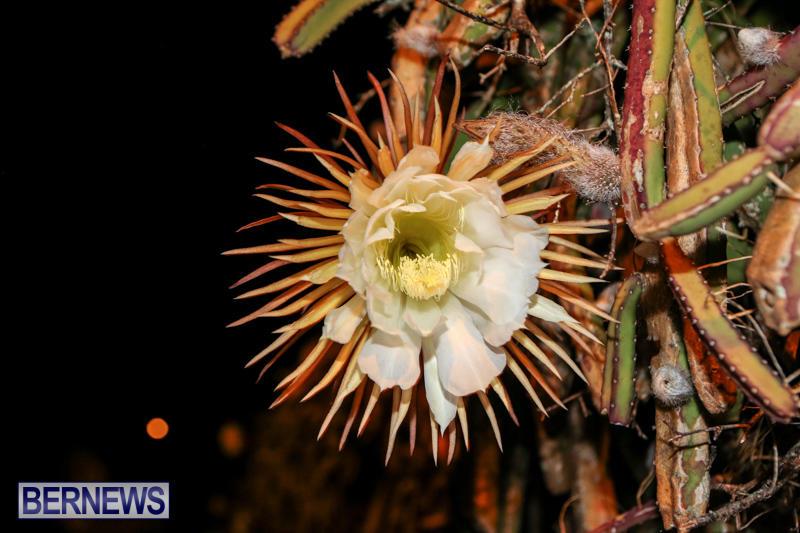 Night-Blooming-Cereus-Flowers-Bermuda-June-24-2015-23