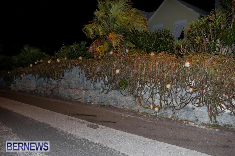 Night-Blooming-Cereus-Flowers-Bermuda-June-24-2015-24