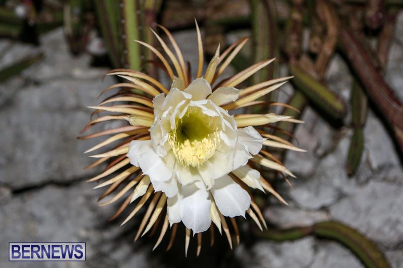 Night-Blooming-Cereus-Flowers-Bermuda-June-24-2015-31
