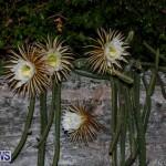 Night Blooming Cereus Flowers Bermuda, June 24 2015-41