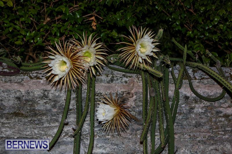 Night-Blooming-Cereus-Flowers-Bermuda-June-24-2015-41