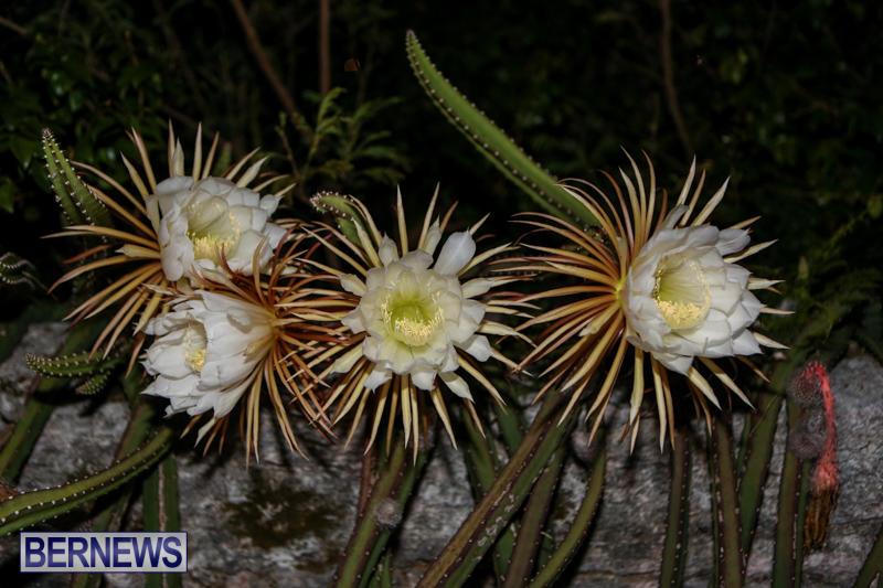 Night-Blooming-Cereus-Flowers-Bermuda-June-24-2015-43