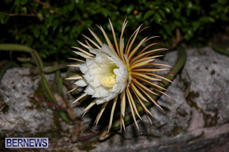 Night-Blooming-Cereus-Flowers-Bermuda-June-24-2015-48