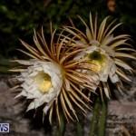 Night Blooming Cereus Flowers Bermuda, June 24 2015-49