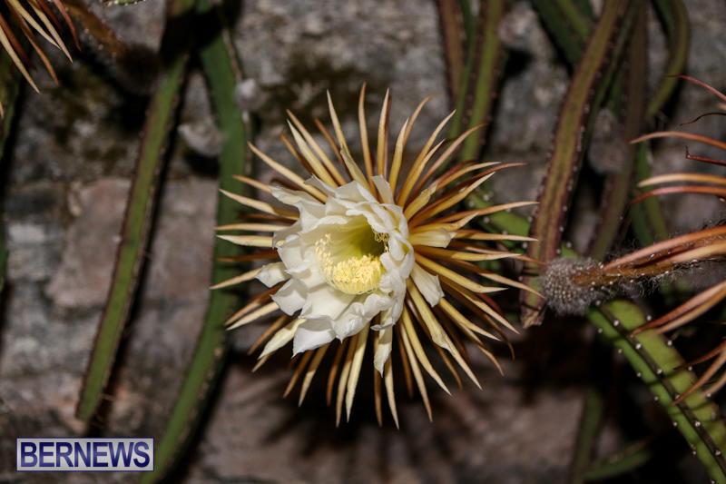 Night-Blooming-Cereus-Flowers-Bermuda-June-24-2015-51