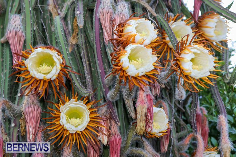 Night-Blooming-Cereus-Flowers-Bermuda-June-24-2015-8