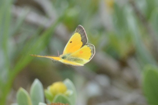 Orange Sulphur butterfly by andrew dobson 2
