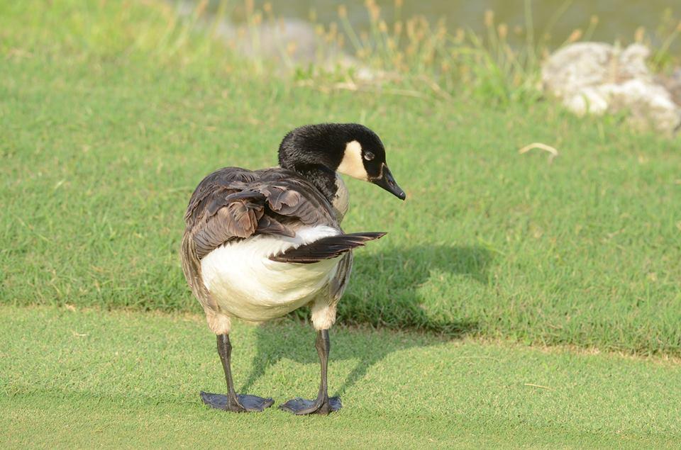 canada-goose-bermuda-june-2015-1