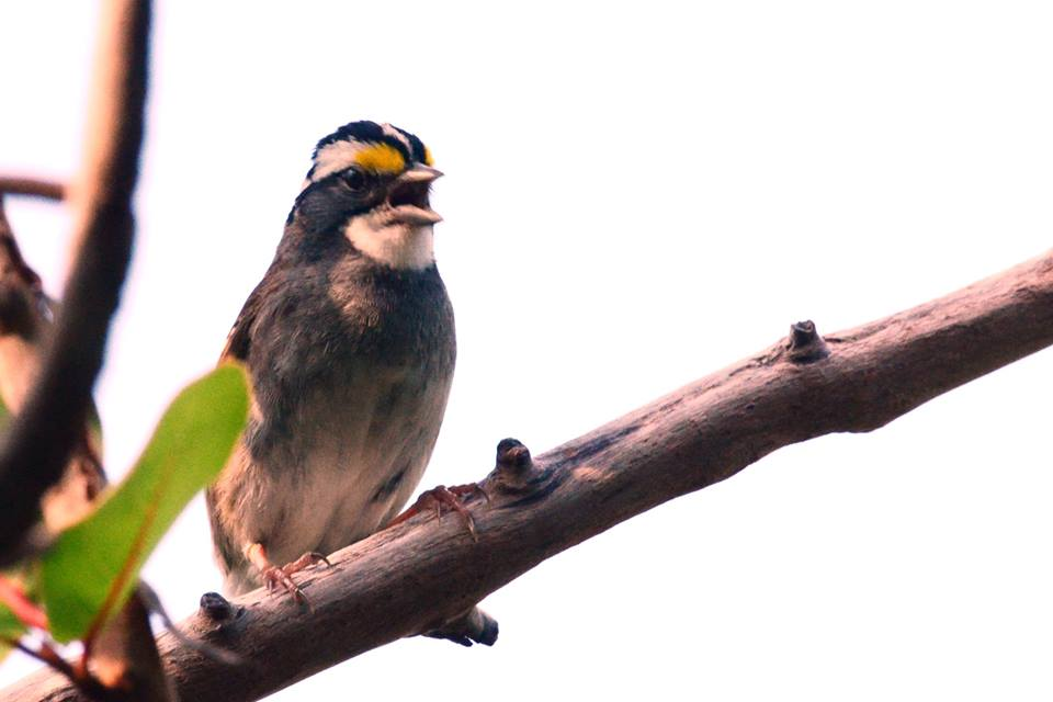 white-throated-sparrow-01