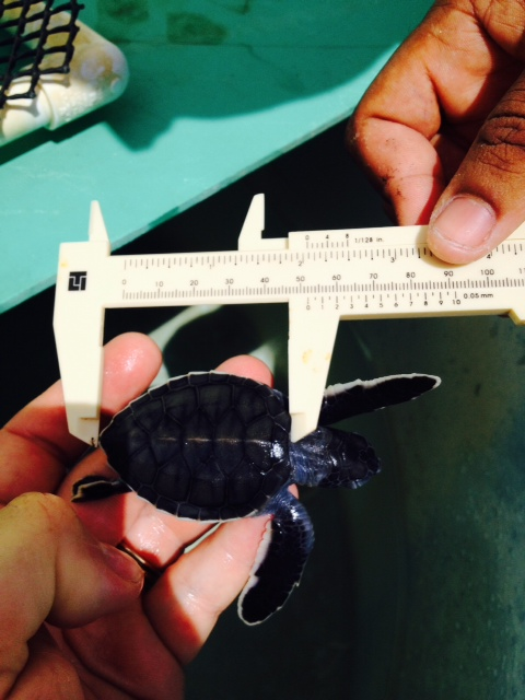 turtle August 8 2015 (2)