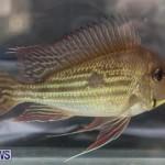 Bermuda Fry-Angle Aquarium Society Fish Show, October 10 2015-11
