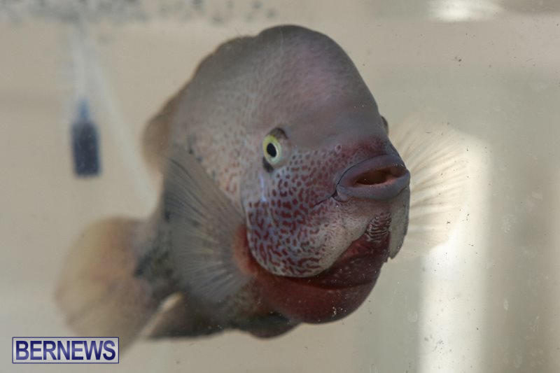 Bermuda-Fry-Angle-Aquarium-Society-Fish-Show-October-10-2015-12