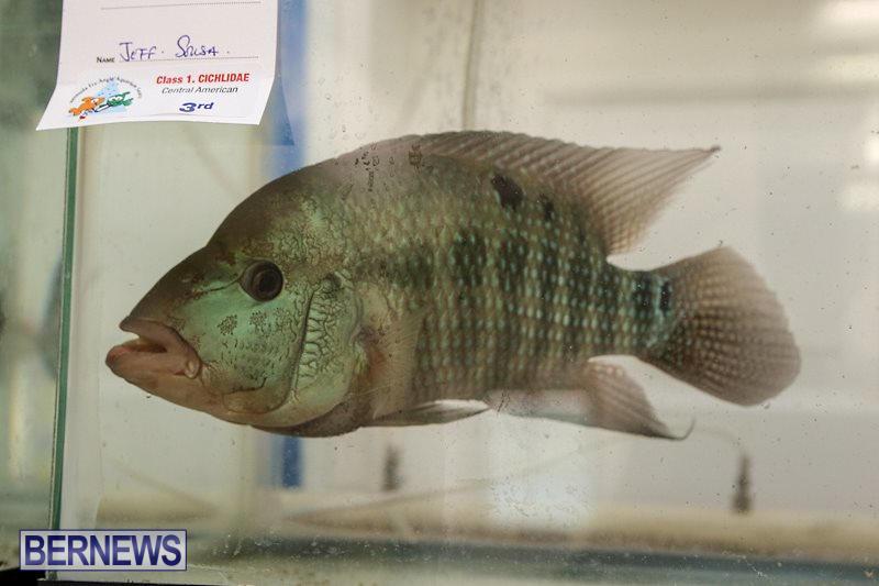 Bermuda-Fry-Angle-Aquarium-Society-Fish-Show-October-10-2015-14