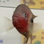 Bermuda Fry-Angle Aquarium Society Fish Show, October 10 2015-15