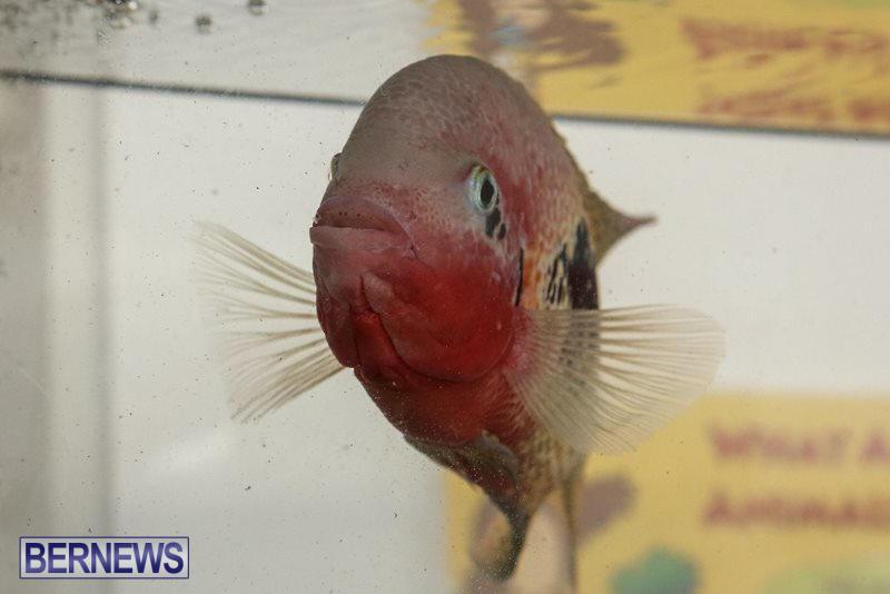 Bermuda-Fry-Angle-Aquarium-Society-Fish-Show-October-10-2015-15