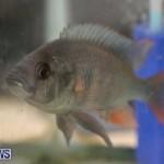 Bermuda Fry-Angle Aquarium Society Fish Show, October 10 2015-16