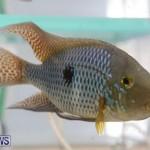 Bermuda Fry-Angle Aquarium Society Fish Show, October 10 2015-21