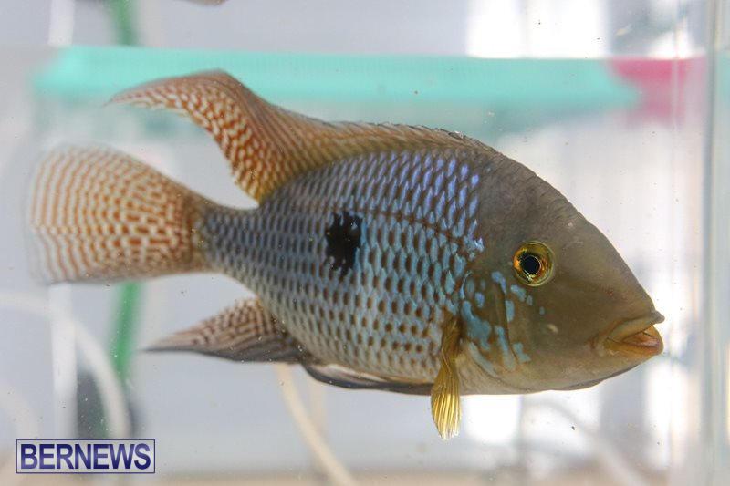Bermuda-Fry-Angle-Aquarium-Society-Fish-Show-October-10-2015-21