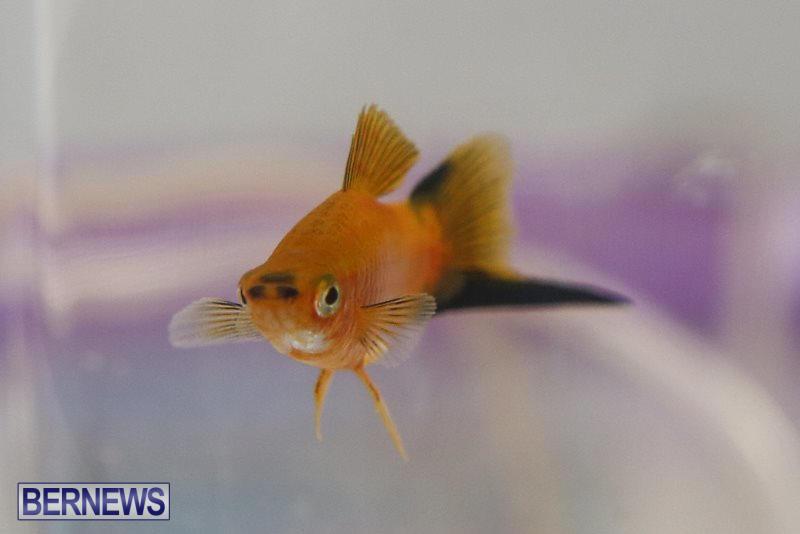 Bermuda-Fry-Angle-Aquarium-Society-Fish-Show-October-10-2015-25