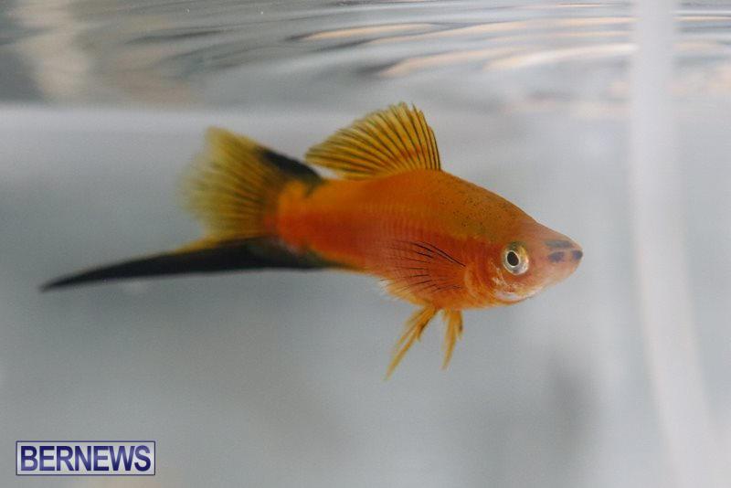 Bermuda-Fry-Angle-Aquarium-Society-Fish-Show-October-10-2015-26