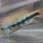 Bermuda Fry-Angle Aquarium Society Fish Show, October 10 2015-28