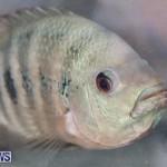 Bermuda Fry-Angle Aquarium Society Fish Show, October 10 2015-30