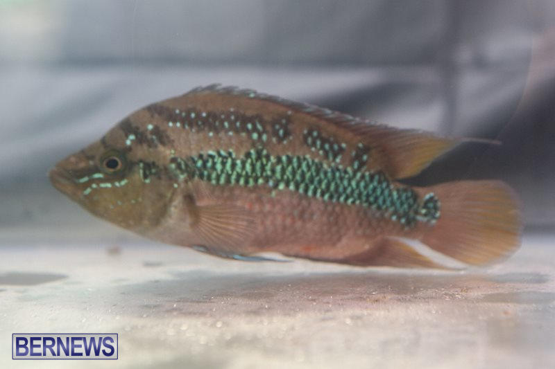 Bermuda-Fry-Angle-Aquarium-Society-Fish-Show-October-10-2015-32